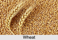 Wheat, Indian Food Crop