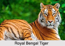 Royal Bengal Tiger, Indian Animal