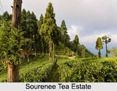 Sourenee Tea Estate, Darjeeling district, West Bengal