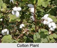 Cotton, Indian Fibre