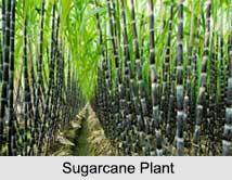 Sugarcane, Indian Food Crop