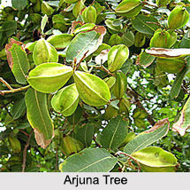 Arjuna Tree, Indian Plant