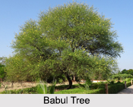 Babul Tree, Indian Herb