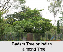 Badam Tree, Indian almond Tree