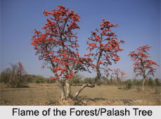 Flame of the Forest/ Palash Tree, Indian Tree