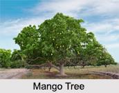 Mango Tree, Indian Tree