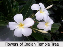 Indian Temple Tree