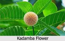 Kadamba tree