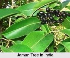 Jamun Tree in India