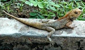 Lizard Chirping, Indian belief and custom