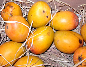 Mango, Indian Fruit