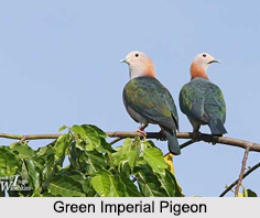 Green Imperial Pigeon, Indian Bird