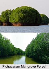 Pichavaram Mangrove Forest, Tamil Nadu