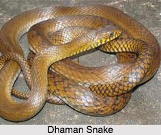 Dhaman Snake