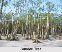 Sundari Tree, Indian Medicinal Plant
