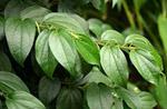 Kababchini Plant