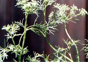 Bishop's Weed, Indian Plant