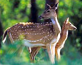 Andaman & Nicobar Islands - Spotted Deer