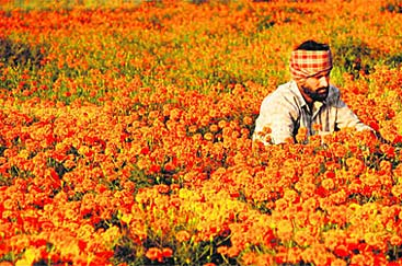 A farmer at Dharamgarh village of Punjab working in marigold field - Village Life in North India