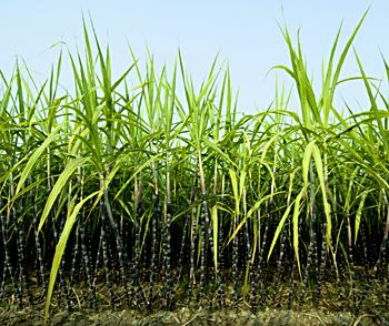sugarcane Of Adilabad District, Andhra Pradesh