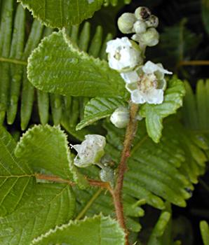 Rubusellipticus