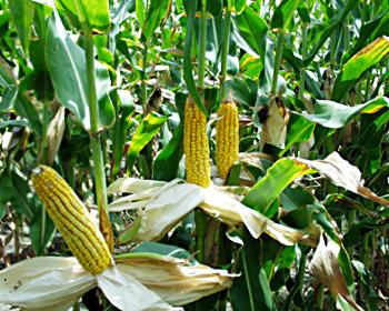 maize crps