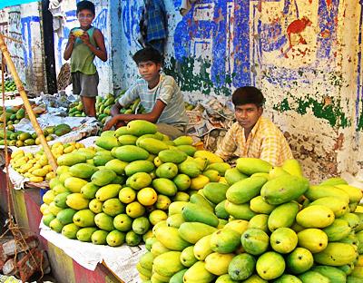Dashahri mangoes - Malihabad, Lucknow, Uttar Pradesh