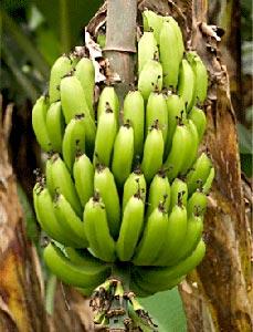 banana producing, Jalgaon, Maharashtra