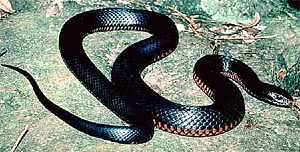 If a black snake is seen on the right side before entering a building it indicates inevitable victory over the enemy