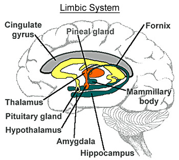 Limbic System or Second Brain
