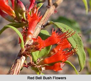 Red Bell Bush Flowers