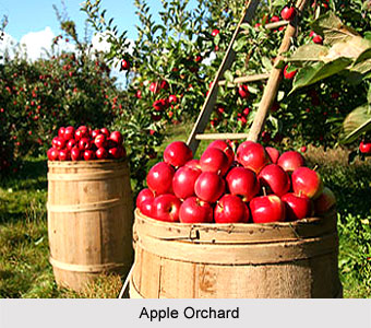 Fruit Cultivation in India - Apple Orchard