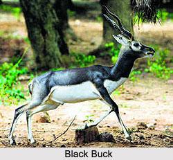Vallanadu Black Buck Sanctuary, Tamil Nadu