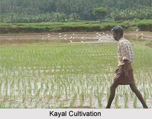 Kayal Cultivation in Kerala