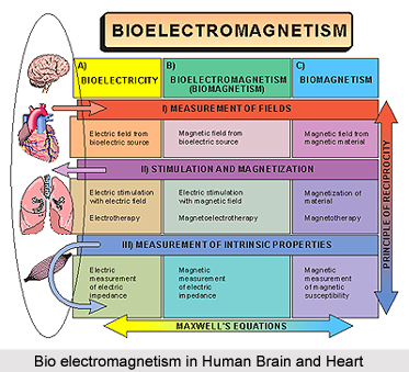Magnetic Properties of Human Brain and heart