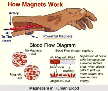 Magnetism in Blood of Human Body