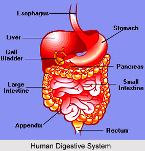 Impact of Yoga on Digestive System