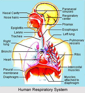 Impact Of Yoga On Respiratory System
