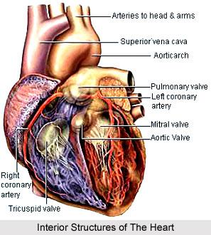 Impact of Yoga on Circulatory System