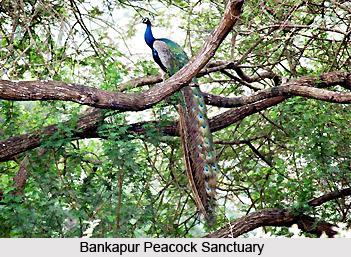 Bankapur Peacock Sanctuary, Bankapura, Haveri District