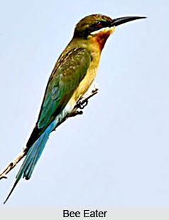 Bee Eaters, Indian Bird