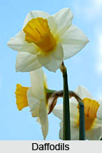 Bulbs , Indian Flower