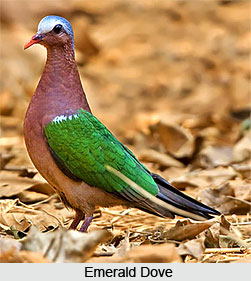 Emerald Dove, Bird