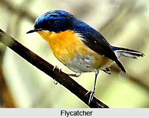 Flycatcher, Indian Bird