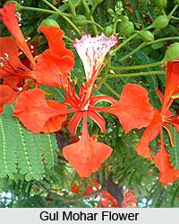 Gul Mohr flower