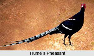 Hume's Pheasant, Bird