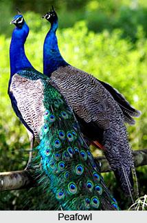 Peafowl, Bird