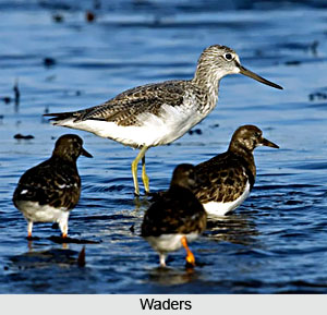 Waders, Indian Birds