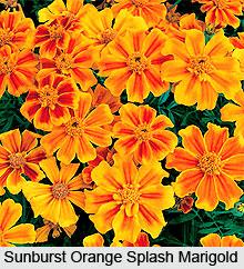 Marigolds, Indian Flower