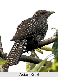 Asian Koel, Bird